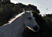 picture of wild horse running  - Portrait of the Running White Camargue Horses in Parc Regional de Camargue - JPG