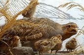 image of taxidermy  - Partridge taxidermy exhibit objects  animals birds theme - JPG