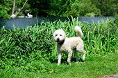 image of poodle  - Australian Labradoodle walking in the park - JPG