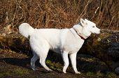 stock photo of husky  - Purebred white siberian husky into the forest - JPG