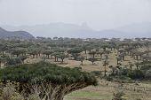 stock photo of dragon  - Dragon Blood Tree, Dracaena cinnabari, Socotra dragon tree,  Threatened species   Frankincense Trees, Boswellia sacra, olibanum-tree , Homhil Plateau, desert forest,  Socotra Island, Yemen - JPG