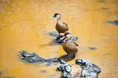 stock photo of pintail  - Pair of white cheeked pintail ducks on Isabela Island in the Galapagos Islands in Ecuador - JPG