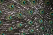 foto of blue animal  - Indian peafowl  - JPG