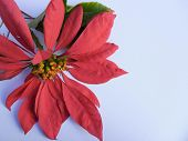 pic of diffusion  - Poinsettia flower on white background - JPG