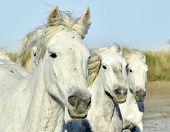 image of wild horse running  - Portrait of the Running White Camargue Horses in Parc Regional de Camargue - JPG