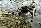 pic of hermit crab  - Blue Land Crab  - JPG