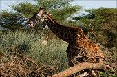 Постер, плакат: Жираф ест акации