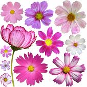 stock photo of cosmos flowers  - Set of cosmos flowers over white background - JPG