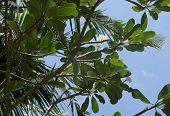 picture of frangipani  - White Frangipani flowers growing naturally on Temple Tree in green December garden in Sri Lanka Asia - JPG