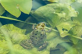 picture of marshes  - Introduced species Marsh Frog resting on lily pad in Sussex lake - JPG