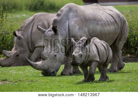 Southern white rhinoceros (Ceratotherium simum simum). Female rhino with its newborn baby. Wildlife