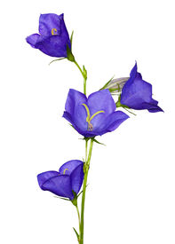 picture of blue-bell  - blue flowers isolated on white background - JPG