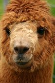 Alpaca Portrait poster