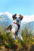 White And Black Fuzzy Dog Sitting In Green Grass And High Mountains At Background, Freedom Travel Co poster
