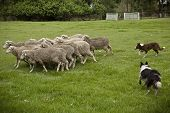 stock photo of herding dog  - Two Australian sheep dogs hard at work - JPG