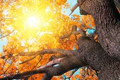 Maple Tree Closeup, Yellow Maple Leaves And Sun, Background Of Nature poster