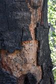 A Tree With Scorched And Charred Tree Bark In California. poster