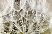 dandelion seed background. Seed macro closeup. Spring nature poster