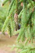 Pine Cone In A Pine Tree. Pine Branches In Nature. poster