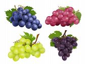 Realistic Grapes. Vector Set Of Various Grape Variety. Collection Of Grape Green And Purple Illustra poster