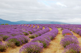 picture of lavender field  - rows of lavenders in a field on a cloudy day - JPG