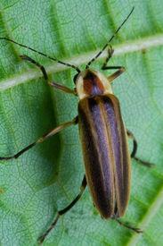 pic of lightning bugs  - Firefly on Leaf  - JPG