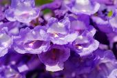 picture of mesquite  - Flamboyant purple flowers on a mesquite tree - JPG