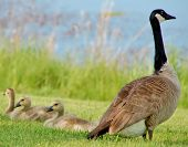 stock photo of baby goose  - A Canadian goose and three baby goslings