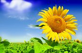 stock photo of sunflower  - Beautiful landscape with sunflower field over cloudy blue sky - JPG