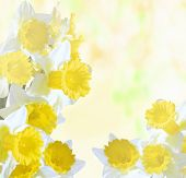 stock photo of jonquils  - flowers of daffodils on a bright sunny background - JPG