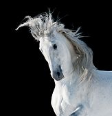 stock photo of start over  - white andalusian stallion over a black background - JPG