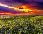 image of wildflowers  - Wildflower field against a backdrop of a dramatic stormy sky at sunset - JPG
