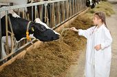 Cute little girl in white robe gives hay to cow at large farm. Focus on cow.