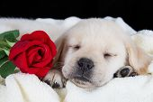 foto of fluffy puppy  - Labrador puppy sleeping on blanket with red rose studio shot - JPG