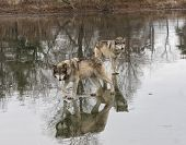 Two wolves on Icy lake