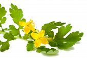picture of celandine  - greater celandine isolated on a  White background - JPG