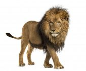 stock photo of vertebrate  - Side view of a Lion walking - JPG