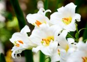 stock photo of easter lily  - White Easter Lily flowers in a garden shallow DOF - JPG