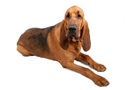picture of bloodhound  - Bloodhound with drool on mouth laying down - JPG
