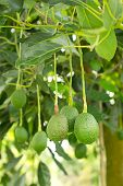 stock photo of avocado tree  - Fresh avocado fruits growing on tree , avocado fruits