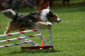 stock photo of sheltie  - A sheltie takes a jump at a dog agility event