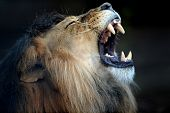 stock photo of african lion  - A close up shot of an African Lion - JPG