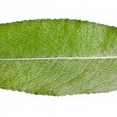 stock photo of weeping  - One green leaf of silver weeping willow close up macro shot isolated on white background  - JPG