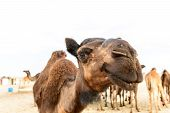 stock photo of dromedaries  - Head of dromedary in Rub al - JPG