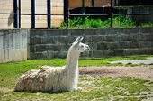 pic of lamas  - Lama living in captivity in a zoo - JPG