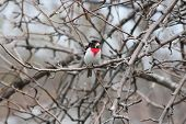 stock photo of songbird  - Male - JPG