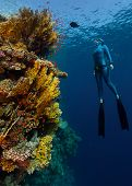 foto of bottomless  - Underwater shot of the lady free diver in wet suit ascending along the vivid coral reef wall - JPG