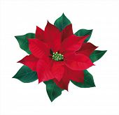 picture of poinsettia  - Red flower poinsettia on white - JPG