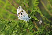 stock photo of stud  - Silver-studded Blue Butterfly - Plebejus argus