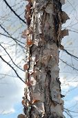 Paper Bark Birch Tree poster